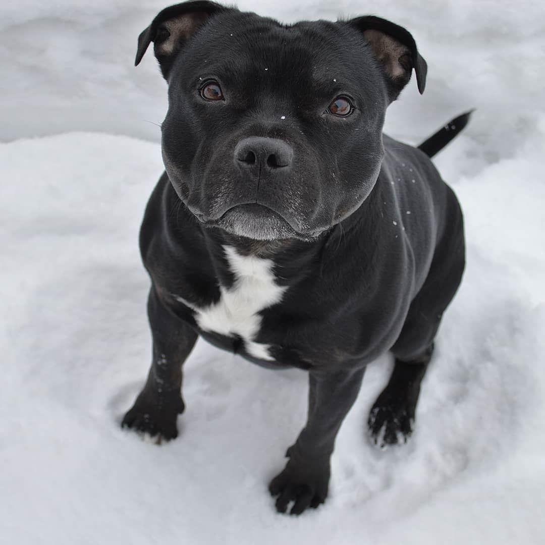 Pin Von Denksportspielehunde Auf Susse Hundebilder Sweet Dogs Funny Dog Pictures Lustige Hunde Staffordshirebullterrier Hunde Hund Und Katze