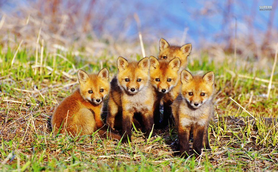 Foxes HD Wallpaper
