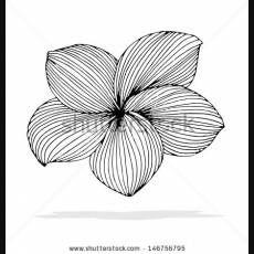 Plumeria Outline Plumeria Drawing Outline Original Drawing Of Frangipani Flower Drawing Design Flower Logo Design Flower Drawing