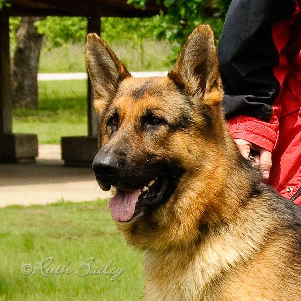W Von Der Burg Austerlitz Biscuit Dog Pictures Dogs Photography