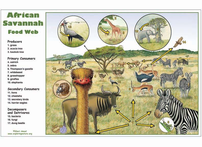 Savanna Animal Food Chain Diagram Lutron Dimmer 3 Way Wire African Savannah Web Activity Biomes