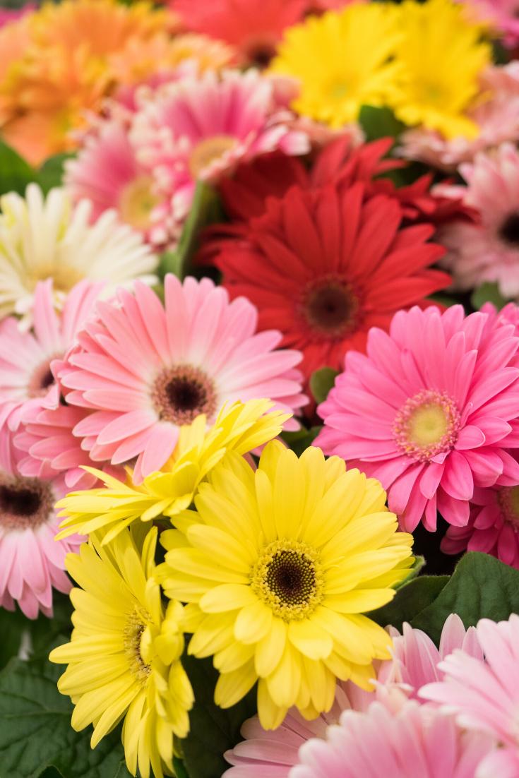 Bouquet Of Multicoloured Gerberas Order Online Floraqueen Floraqueen In 2020 Friendship Flowers Beautiful Flowers Flowers