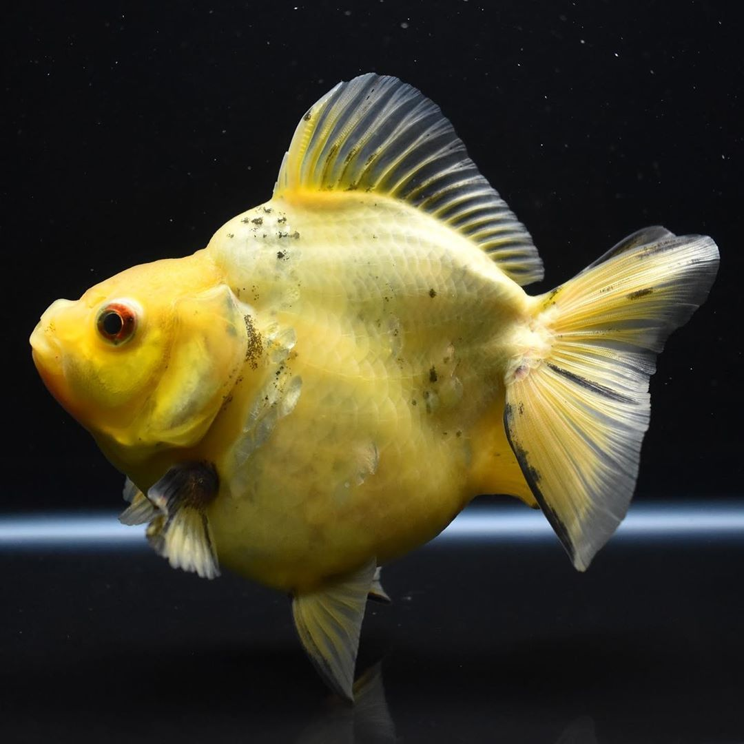 A Yellow Meatball Check Out This Super Cute Big 6 Ryukin Who Is A Bright Yellow Which Is A Very Rare And Hard To Find Pet Goldfish Oscar Fish Goldfish