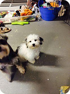 Glocester Ri Shih Tzu Havanese Mix Meet Rex A Puppy For