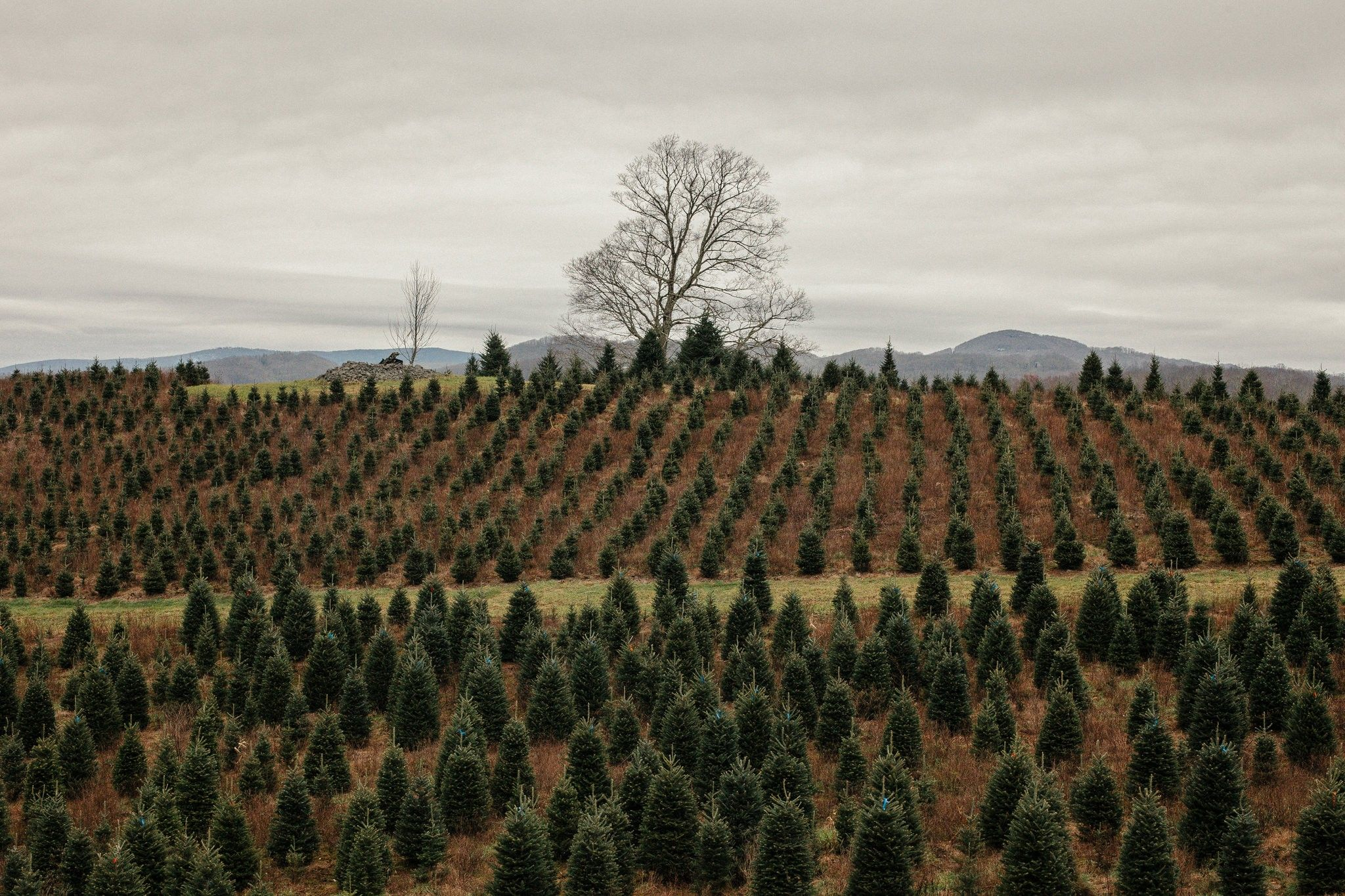 Real Vs Artificial Christmas Trees Which Is The Greener Choice Green Choices Fake Christmas Trees Christmas Tree Farm