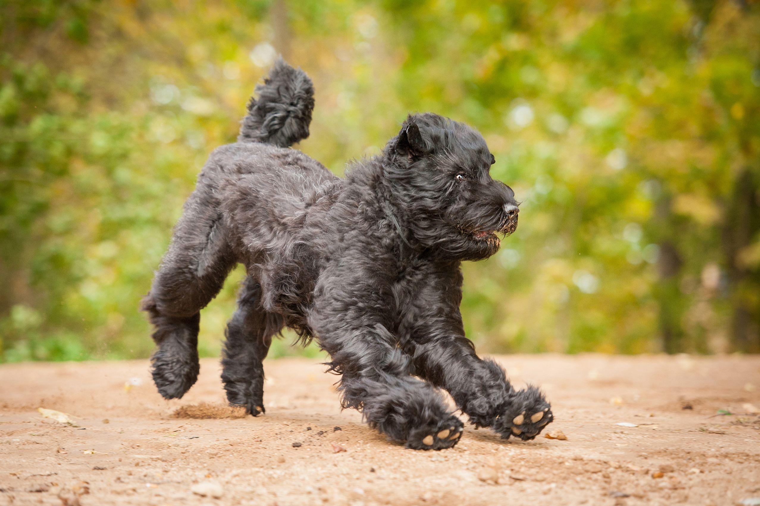 Black Russian Terrier Black Russian Terrier Dog Breeds Terrier
