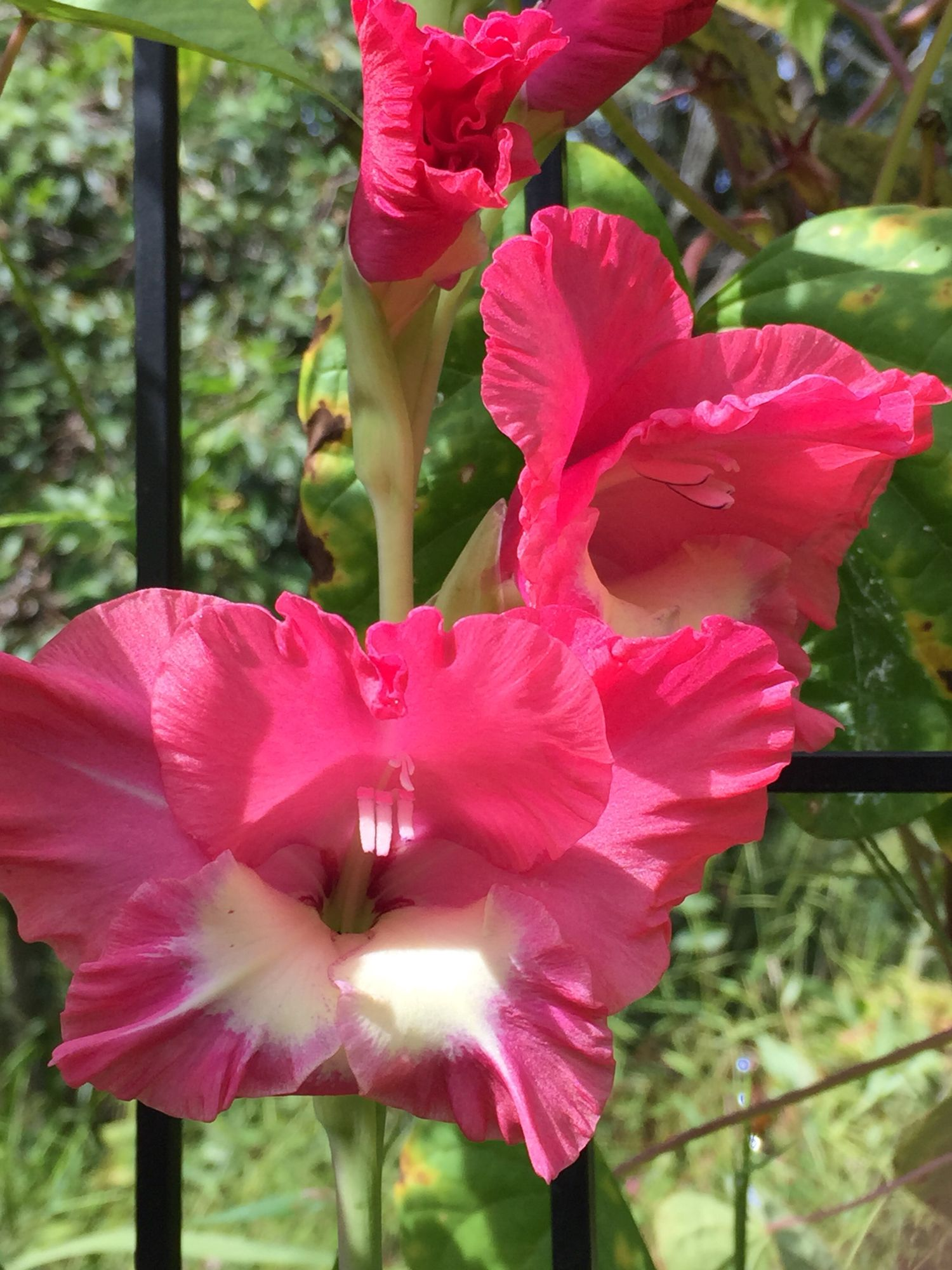 Gladiola \'Chit Chat\'-yes, the color is that intense. My favorite ...