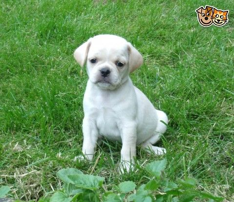 Super Rare White F2 Puggles First In The World Four Legged