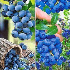 Blaubeeren richtig pflanzen   – Garten