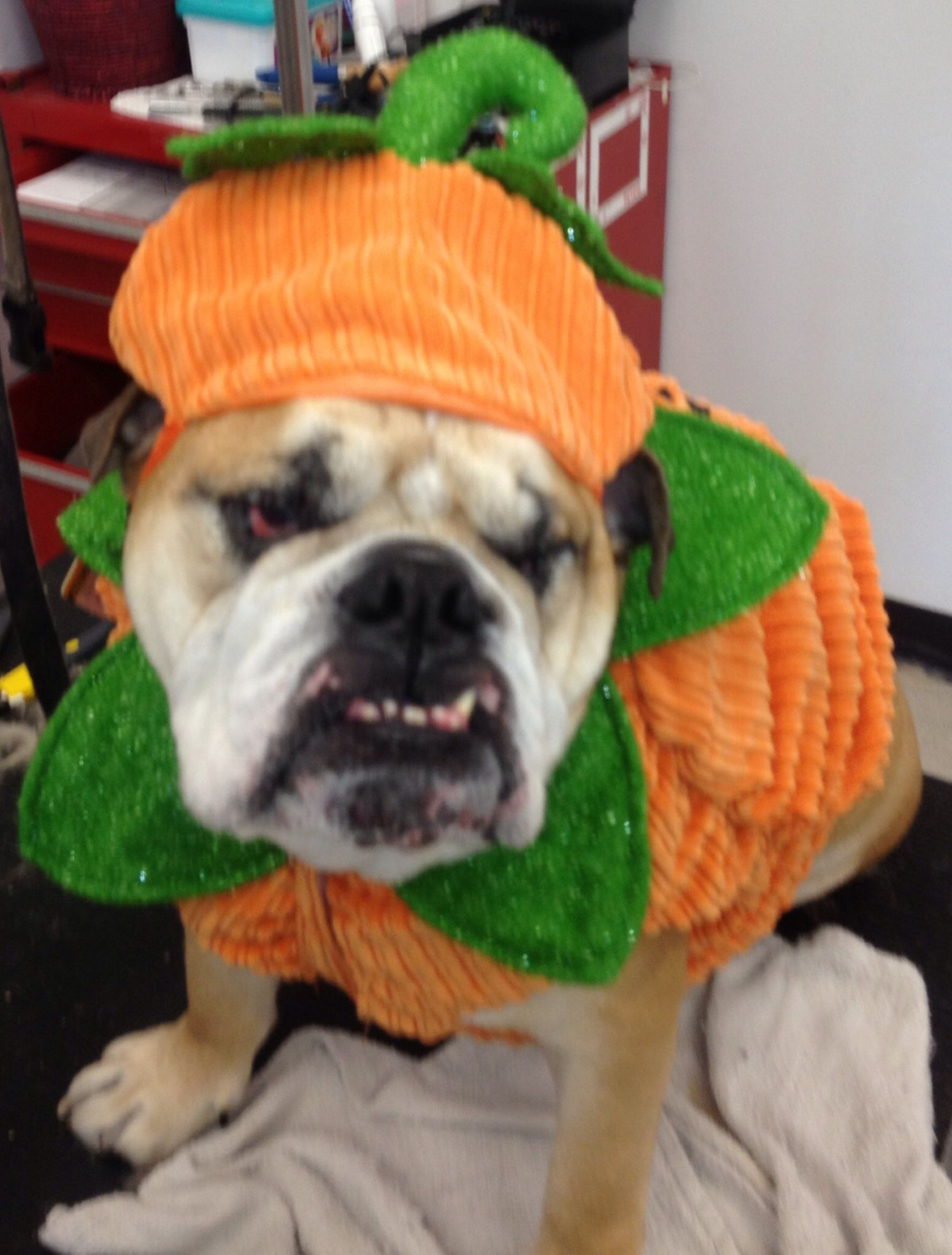 Winston as a pumpkin on Halloween-his bday!