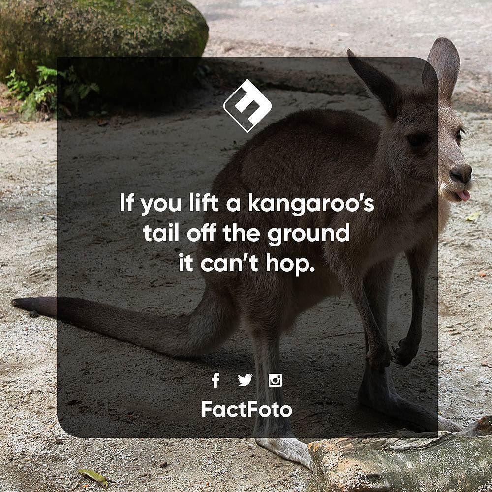 kangaroo #factfoto #fact | You Don\'t Say: Critter Edition ...