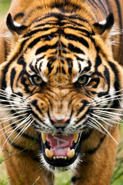 fierce angry tiger - Google Search | Art- Murals/ Bulletin ...