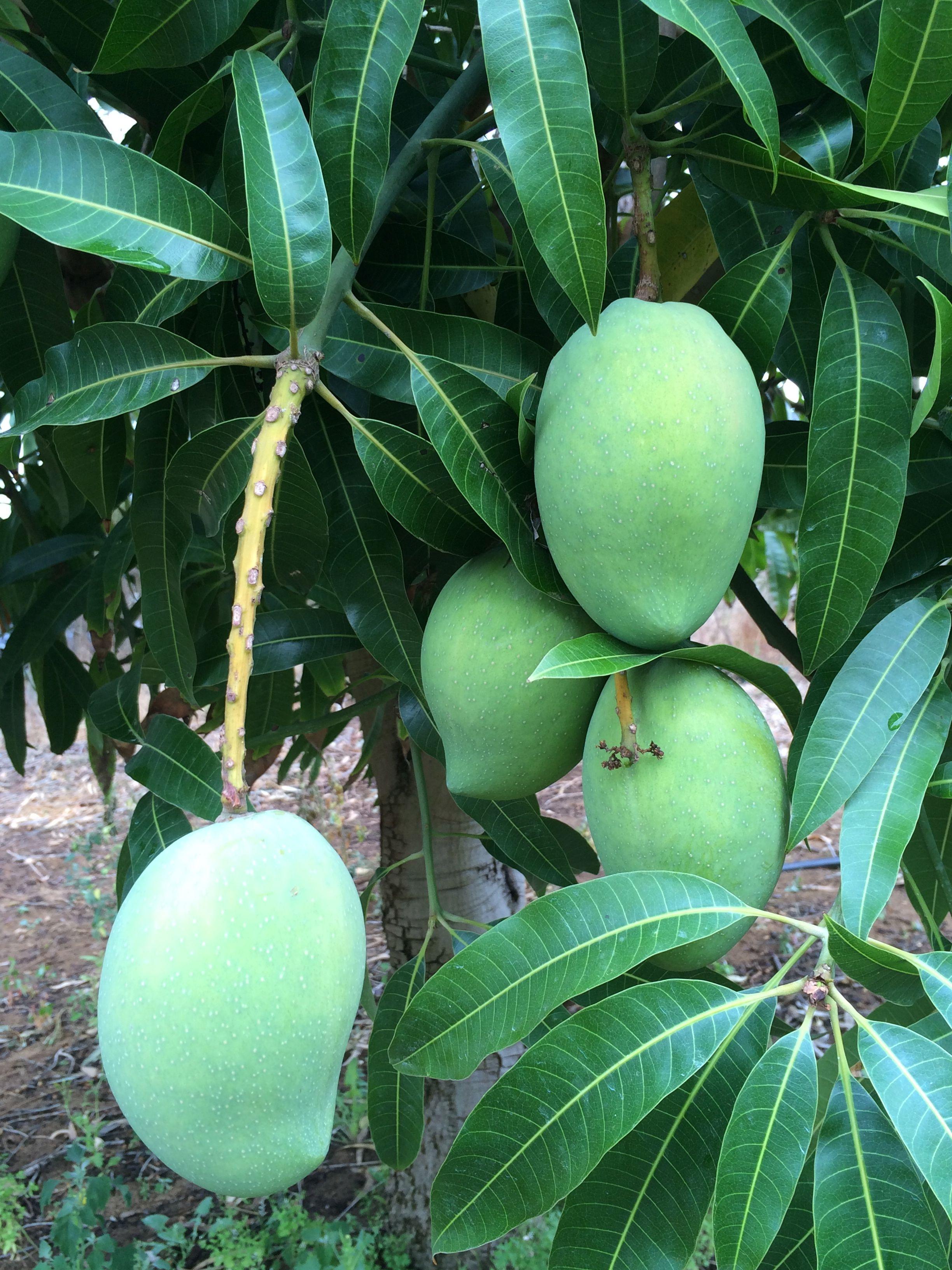 Pin On Frutti Esotici Tropicali Poco Diffusi