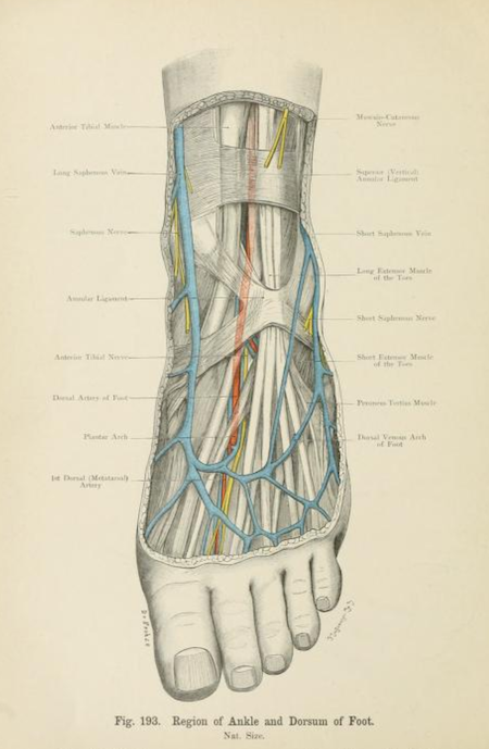 """Fig. 193. """"Region of ankle and dorsum and foot."""" Atlas of...   Star ..."""