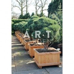 arbre nuage pinus sylvestris watereri taille 125 150 arbres nuages pinterest saint anne. Black Bedroom Furniture Sets. Home Design Ideas