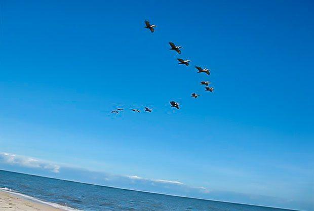 Brown pelicans in flight over alligator point beach - Craigslist okaloosa farm and garden ...