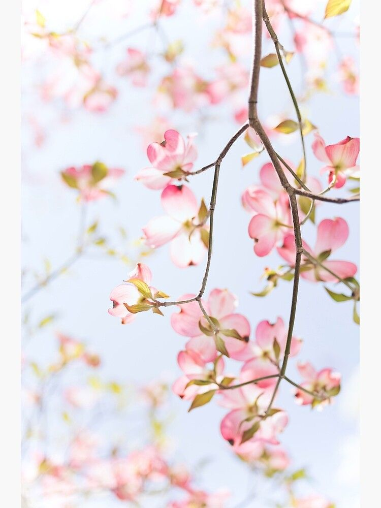 Sakura Flowers Photographic Print By Opticpixil Spring Wallpaper Spring Pictures Spring Flowers Background
