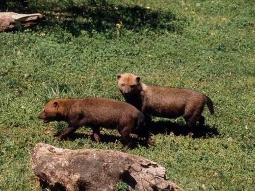 Bush Dog (speothos venaticus), Endangered | Darien ...