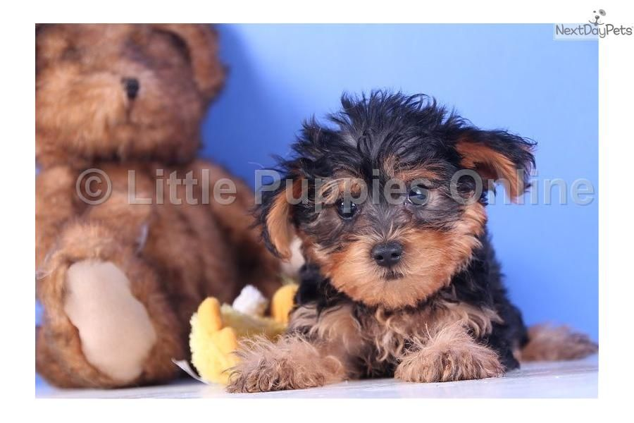 Meet Buck A Cute Yorkiepoo Yorkie Poo Puppy For Sale For 499 Buck Male Yorkie Poo Yorkie Poo Yorkie Yorkie Poo Puppies