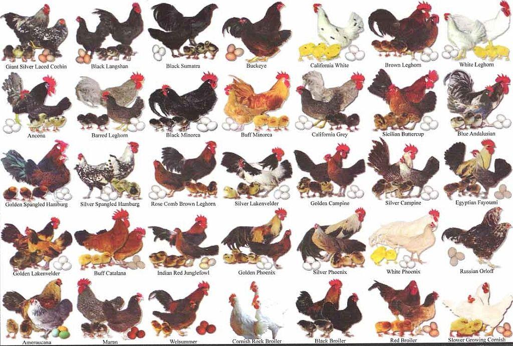 chicken breeding chart: Know your fancy chicken breeds city chickens pinterest
