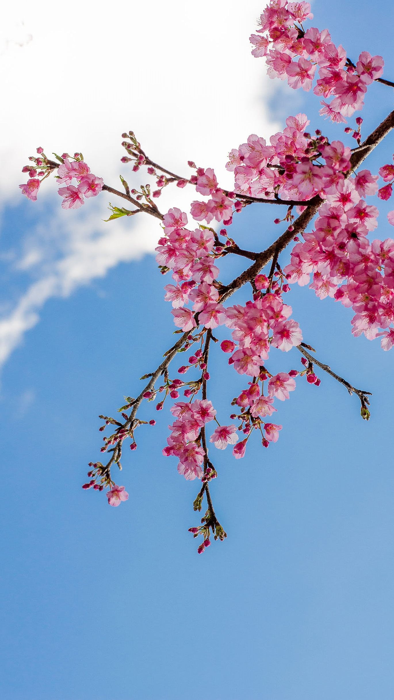 Branch Of Flowers Cherry Blossom Wallpaper Sky Aesthetic Cute Flower Wallpapers
