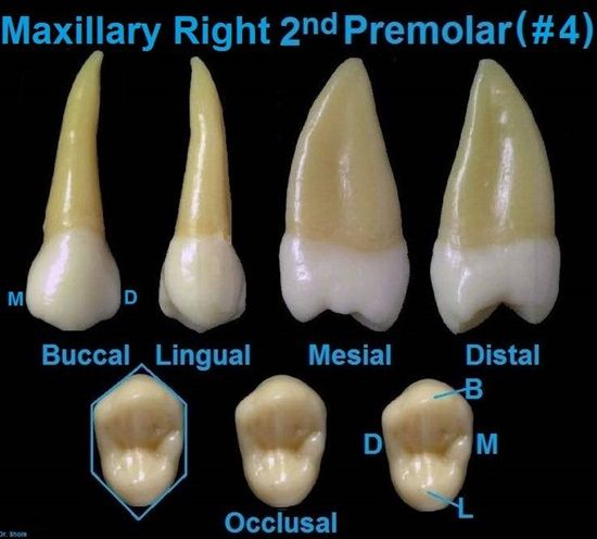 Dentaltown - Dental Anatomy and Tooth Morphology. Dental Anatomy ...