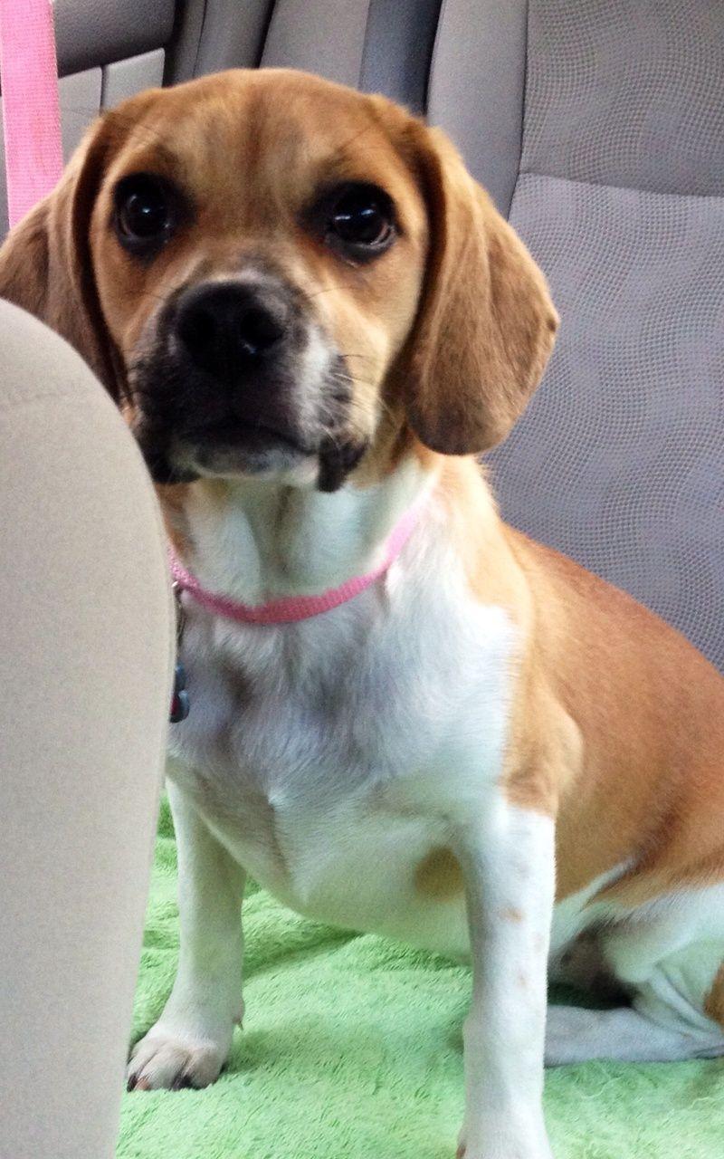 Adopt chloe on beagle hound adoption beagle