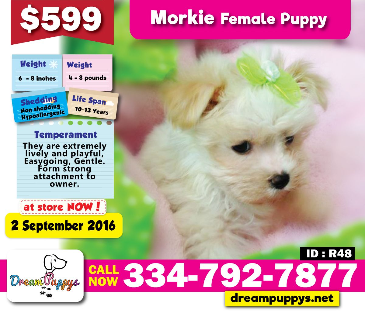 Morkie Female Puppy Available In Store Now 02 September 2016 Www