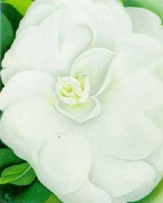Georgia o keeffe white camelia 11131g 321400 pixels art georgia okeeffe sometimes a flower is just a flower this is perfection to me mightylinksfo