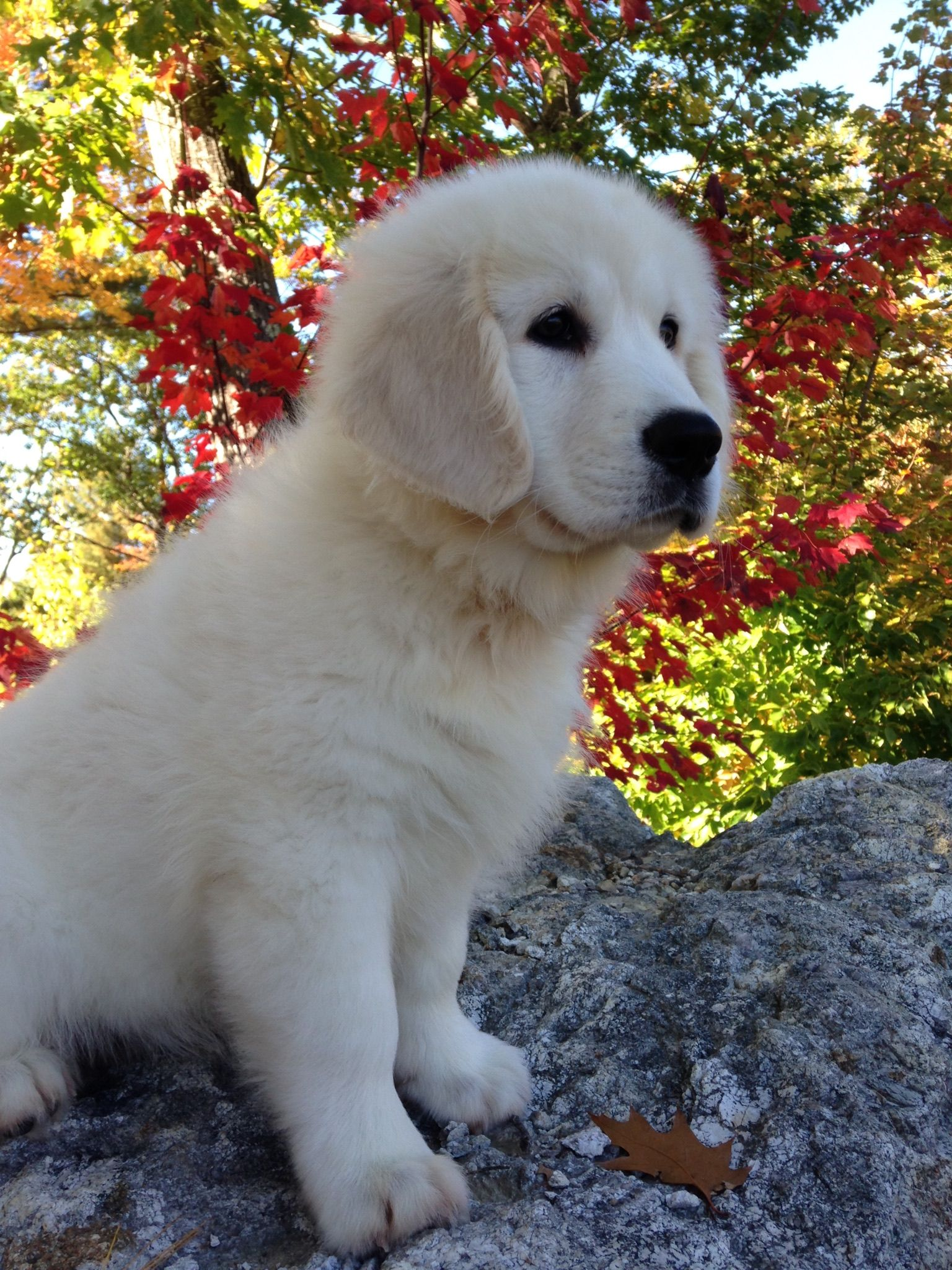 English Cream Retriever Dogs Puppies Puppy Love English Cream Retriever Puppies For Sale In Southern Maine Retriever Dog Retriever Puppy Puppies For Sale