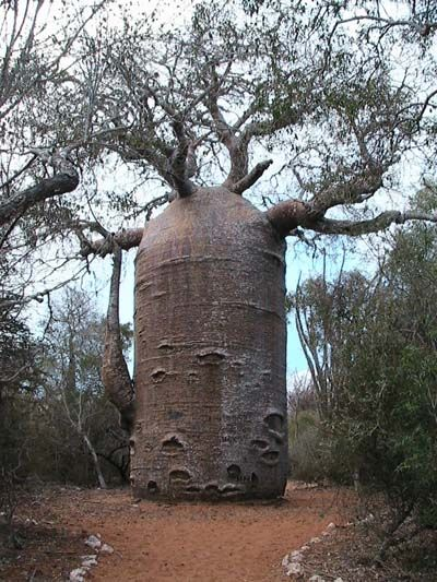 The Baobab Tree can store up to 32,000 gallons of water in its trunk.