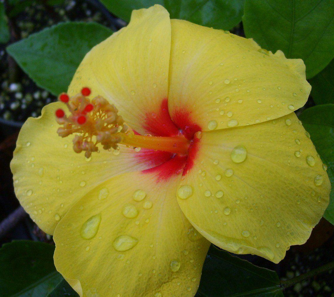 4 HAWAIIAN YELLOW HIBISCUS PLANT CUTTINGS ~ GROW HAWAII
