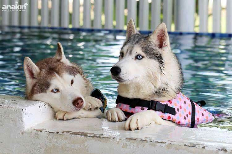 We Swam For An Hour Now Can We Get A Donut Siberian Husky