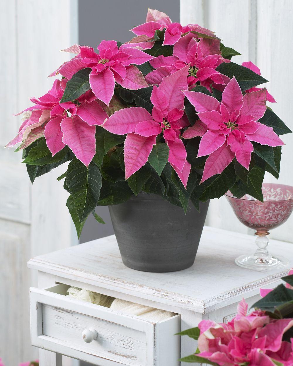 Princettia® Hot Pink Euphorbia Christmas plants, Pink
