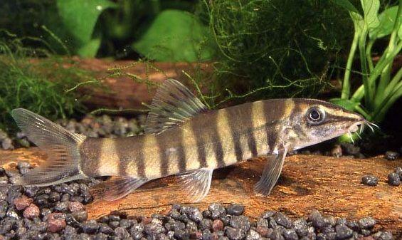 Redtail Blue Loach 2 Inches Long Aquarium Fish Fish Pet Swordtail Fish