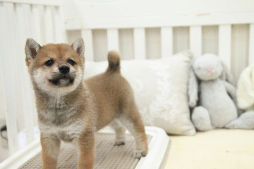 Shiba Inu Puppy For Sale In San Jose Ca Adn 53081 On Puppyfinder