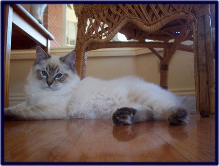 Seal Lynx Point Ragdoll Cat Ragdoll Cat Cats Baby Cats
