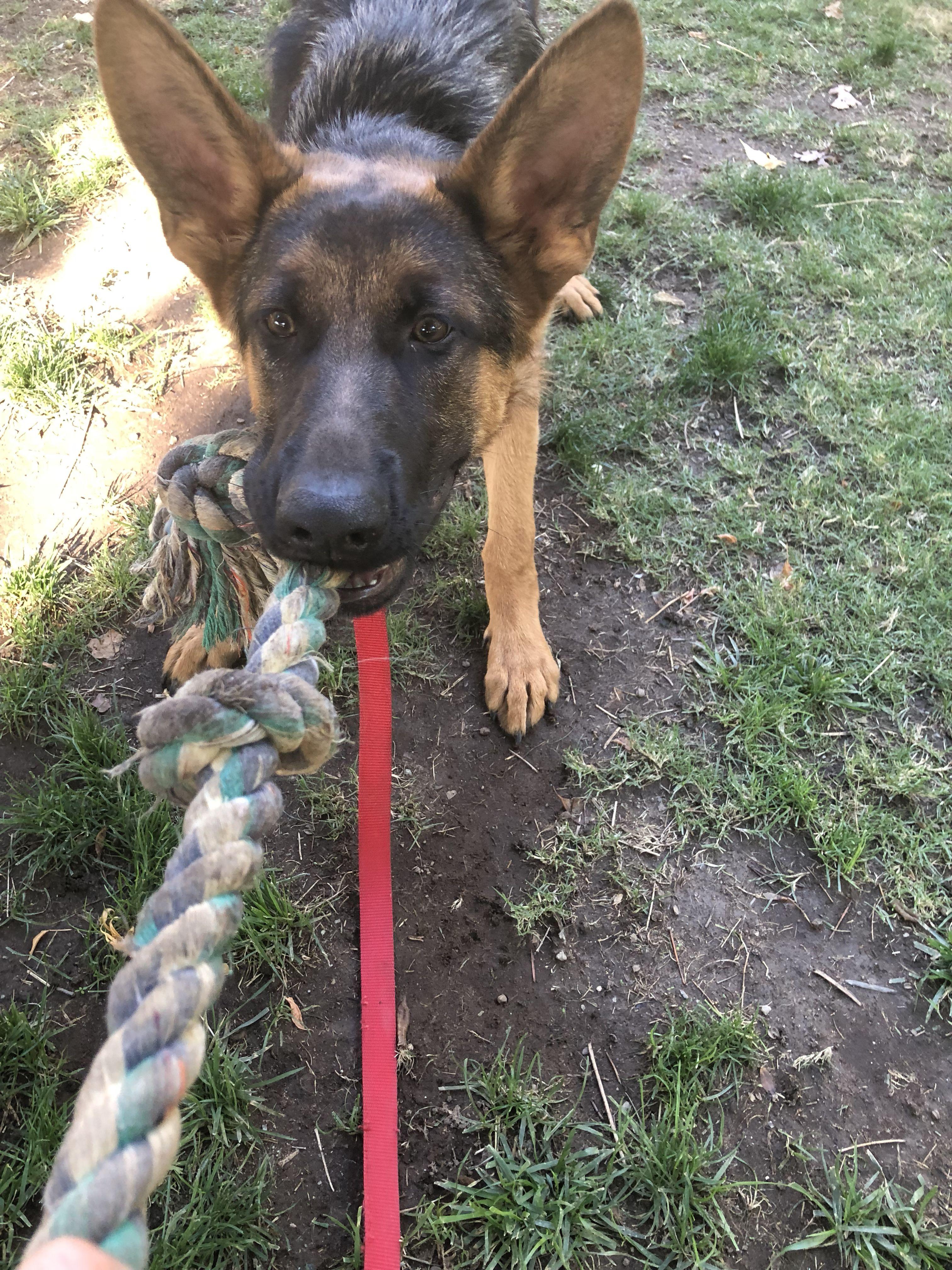 Dog Training Fresno Clovis Dog Training Training Your Dog