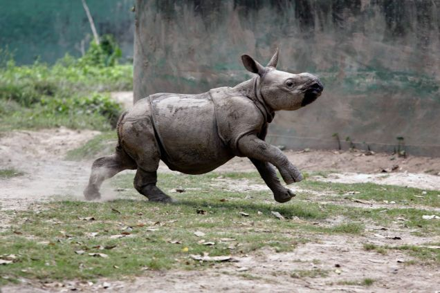 After A Rough Start Baby Rhino Is Now Winning At Life Animal