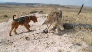 Coyote in trap with dog