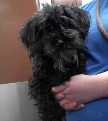 Urgent Phoenix Az Id A4179589 My Name Is Daisy I Am A Spayed Female Black Schnauzer
