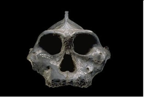 Black Skull, a partial skull from a specimen of Australopithecus aethiopicus