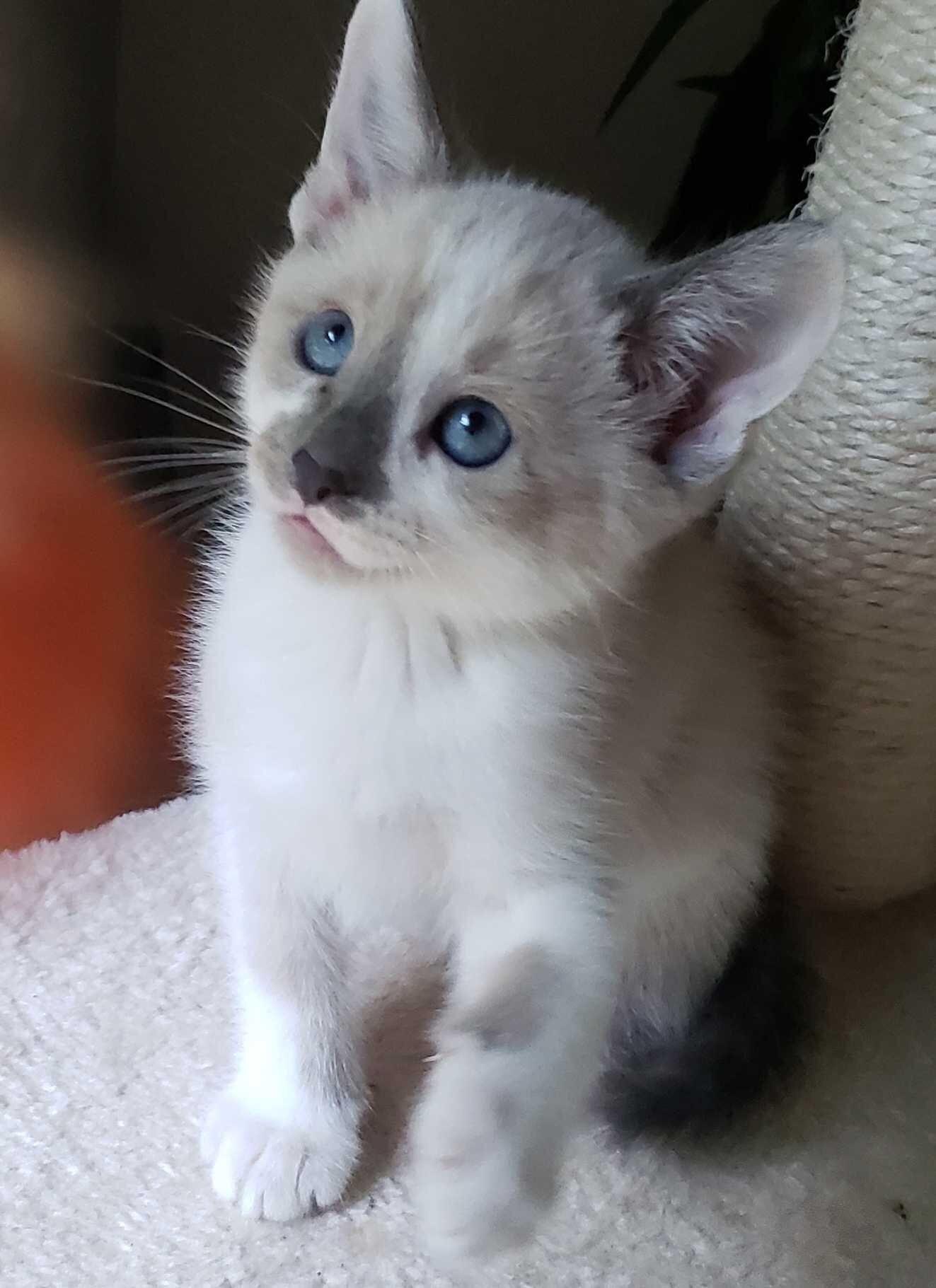 my kitten from Craigslist. 8 weeks old half siamese half