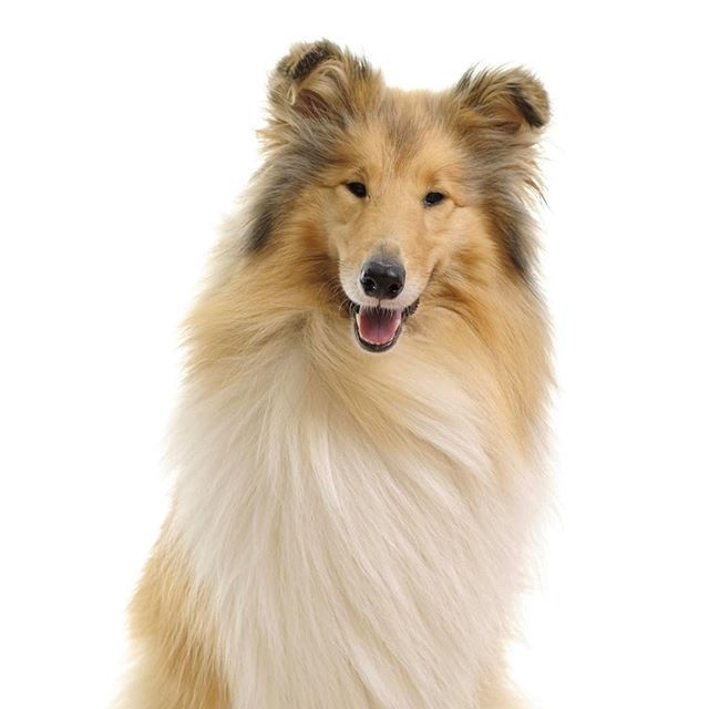 Collie Dog Breed Information Dog Breeds Herding Cats Raining
