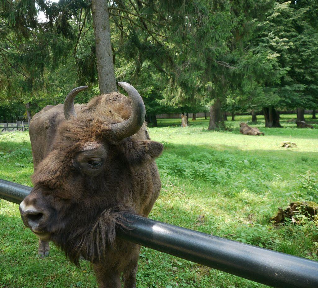 Pologne,  parc animalier du parc national de Białowieża: bison cabotin
