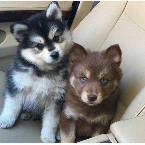 Oreo Blue Eyed Brownie Perros Lindos Perros Animales Bebe Bonitos