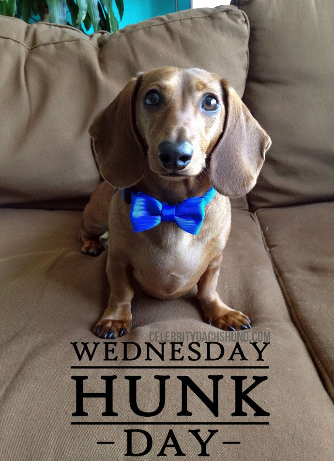Today S Wednesday Hunk Is Frank From Hoboken New Jersey Dachshund Funny Video Dachshund Daschund Puppies
