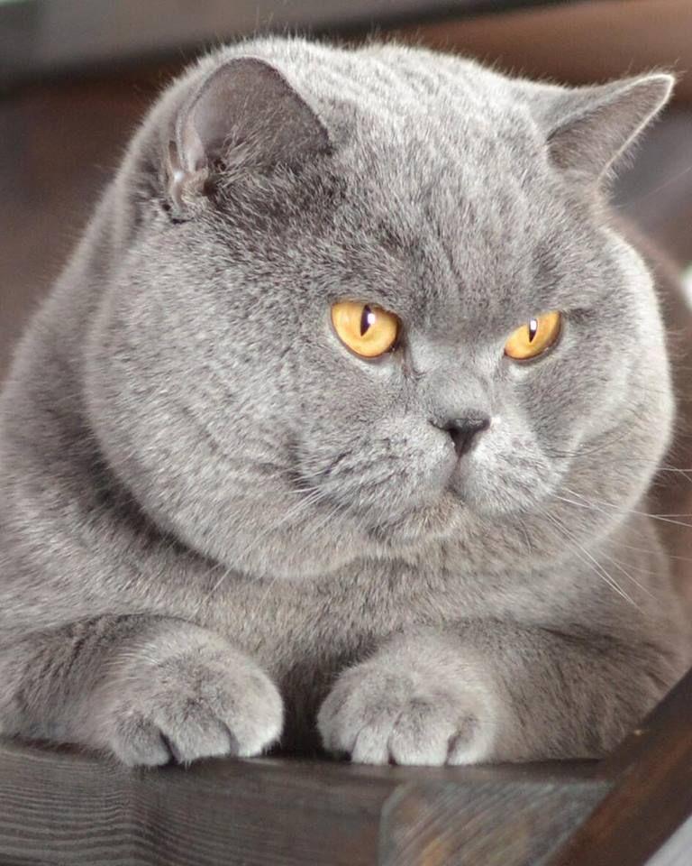 Big Beautiful Specimen British Shorthair Kittens Kittens Cute Cats
