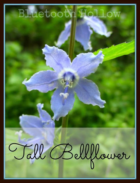 Wednesday S Wildflower Tall Bellflower Bellflower Wild Flowers Tall