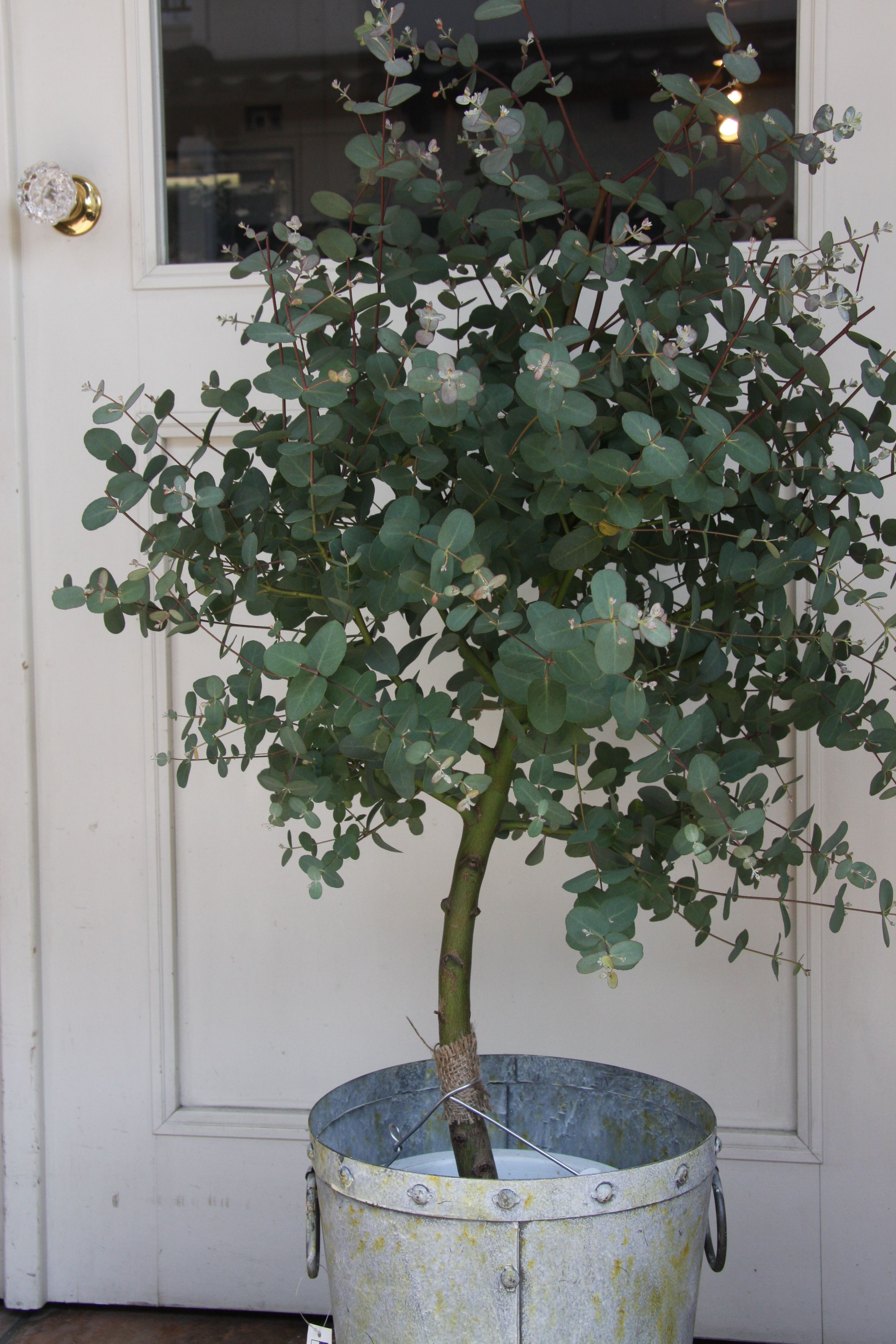 Grow Eucalyptus Gardening Indoor Plants Plants